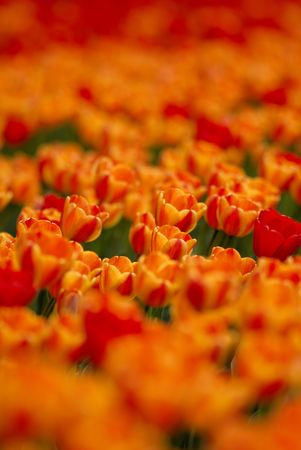 It is  lot of tulips of orange and red color on  flower bed Stock Photo - 3396836