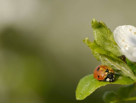 Ladybird on  flower plums on  green background in  garden photo