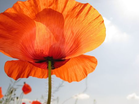 Flower of  red poppy on  background of  blue sky photo