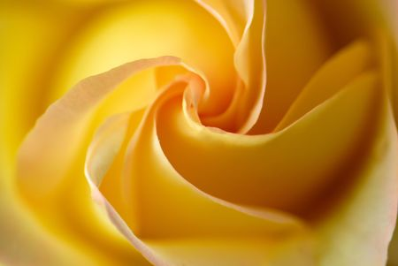 Dimissed petals and flower of yellow rose