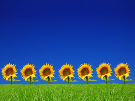 bright flowers of sunflower on background of blue sky Stock Photo