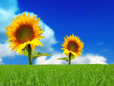 two bright colors sunflowers on backgrounds  blue sky Stock Photo - 3738714