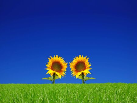 bright flowers of sunflower on background the blue sky Stock Photo - 3738702