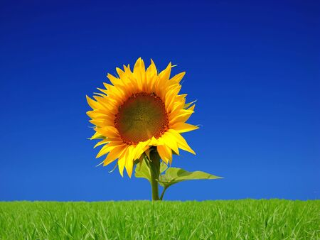 flower of bight sunflower isolated on white background Stock Photo - 3738703
