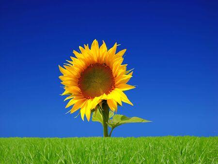 flower of bight sunflower isolated on white background Stock Photo - 3738703