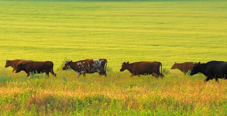 Herd of steppe cows of brown painting on  background of  green pasture in  sunny day photo
