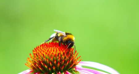bumblebee collects nectar from  flower on  green background in sunny day photo
