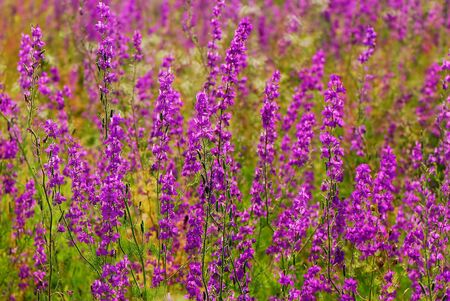 Lilac color grass on spring meadow bright sunny day photo