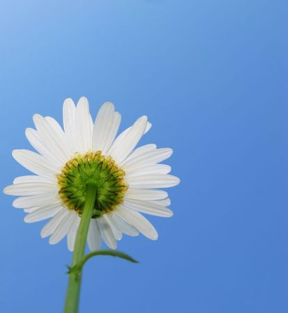 Dismissed flower of  camomile decorative on  background of brightly blue sky Stock Photo - 4552556