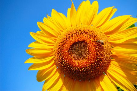 bee collects nectar on  bright yellow flower of  sunflower on  background of  blue sky Stock Photo - 4574751