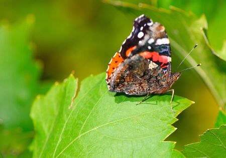 beautiful bright butterfly sits on green foliage of grapes in  garden  photo