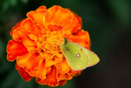 beautiful bright butterfly sits on an orange flower in  garden  photo
