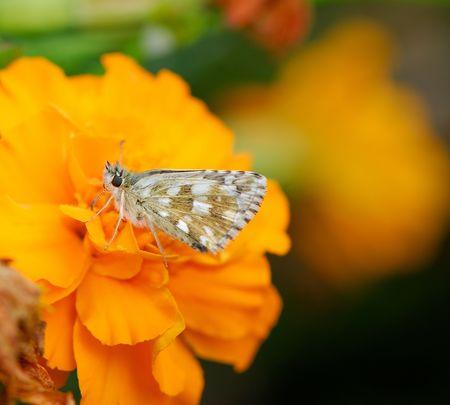 beautiful bright butterfly sits on an orange flower in  garden   photo