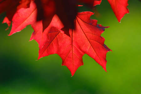 Red foliage covered by sunlight on  green  background photo