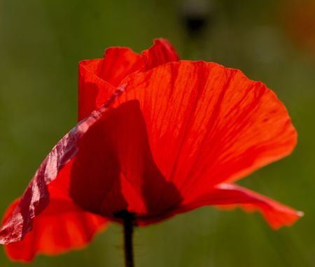 Beautiful bright red flower of  field poppy  sunny day photo