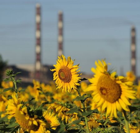 mains: Bright flowers of a sunflower on a background of factory pipes and electric mains