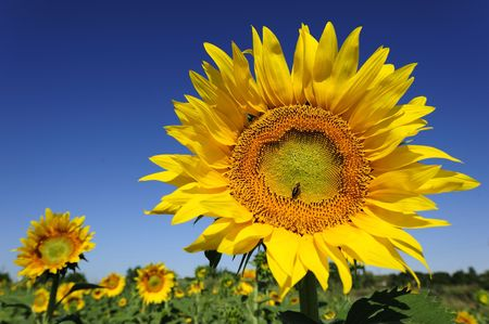 Bright yellow flower of a sunflower on a background of the blue sky in a sunny day Stock Photo - 6497230
