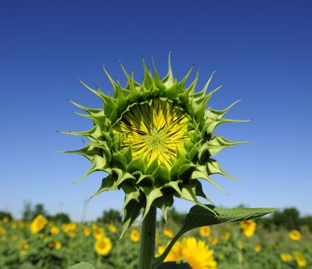 Not dismissed green flower of a sunflower on a background of the blue sky in a sunny day Stock Photo - 6497228