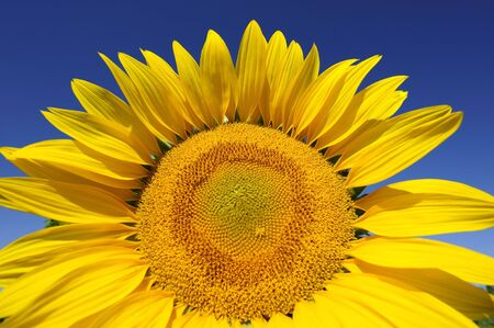 Bright yellow flower of a sunflower on a background of the blue sky in a sunny day Stock Photo - 6497217
