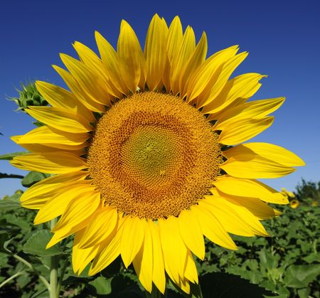 Bright yellow flower of a sunflower on a background of the blue sky in a sunny day Stock Photo - 6497224