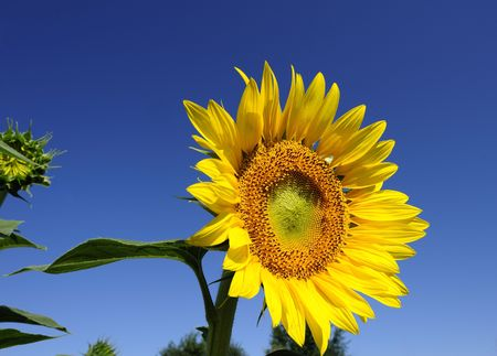 Bright yellow flower of a sunflower on a background of the blue sky in a sunny day Stock Photo - 6497223