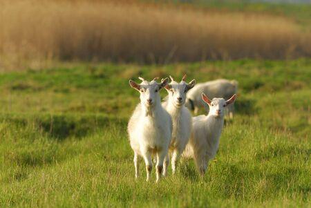 Cabra con niños en un prado verde primavera en un día soleado