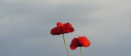 Flower of a field red poppy in a field photo
