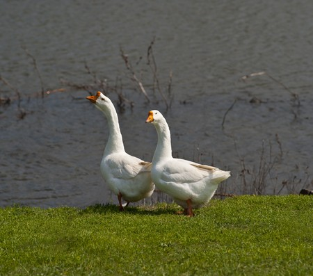 pair of domestic geese graze on a green grass  at the river in daily time photo