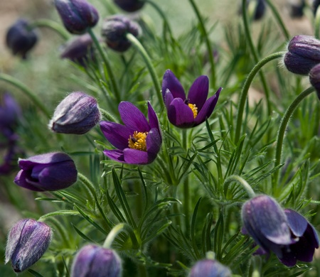 blossoming flowers of violet color in park  sunny spring day Stock Photo - 19283686
