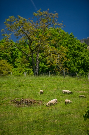 green pasture in mountains and sheep, a sunny day, Switzerland photo