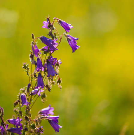 purple bell flowers on blurred green background