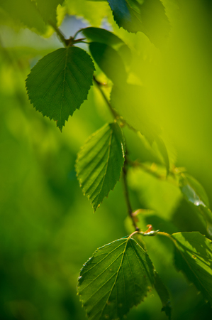 young green leaves of birch tree with a blurred background photo