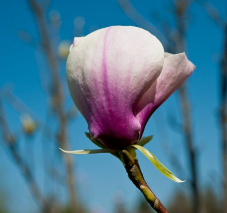 blooming magnolia flowers on a background of sky, sunny day photo