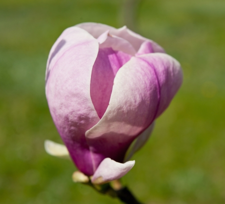 blooming magnolia flowers on a green background , sunny day photo