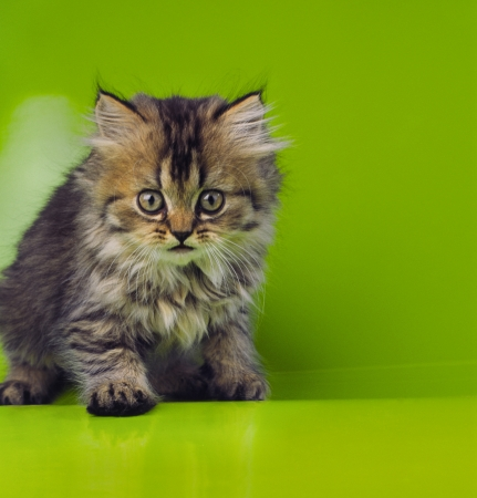 miaul: nice young cat on a green background in the studio