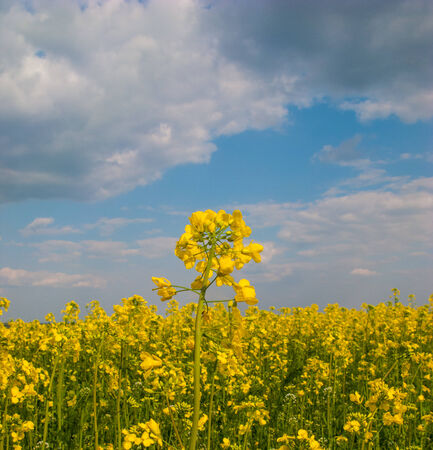 flowers yellow rape against the blue sky with clouds photo