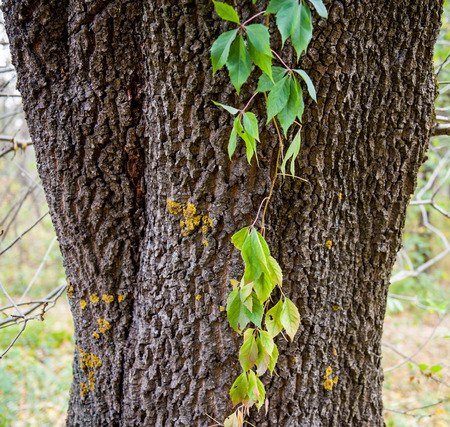 tree trunk twined branches and leaves of wild grapes, autumn photo