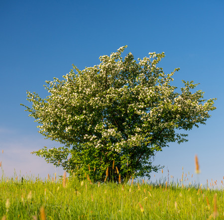 Blooming hawthorn and meadow grass  Bloom  Hawthorn blossoms  Spring season   photo
