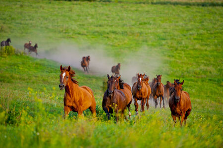 herd of horses running in the hilly area, the summer season photo