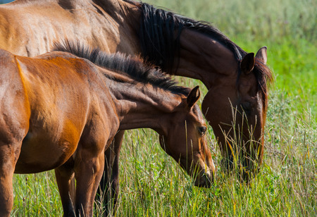 synchronously: English breed horse with foal on pasture in the summer season