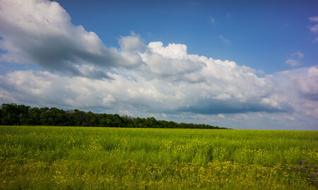 young green canola field in the steppe zone, spring season photo