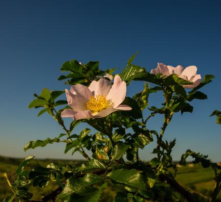 briar bush: brier flowers on sky background, spring season