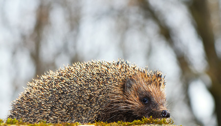 hedgehog in spring park on blurred background, closeup photo