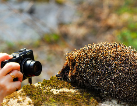 female hand with a camera and a hedgehog on a blurred background in spring park photo