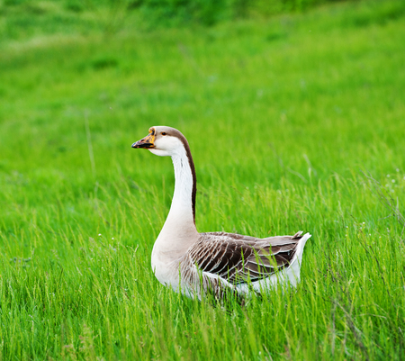 one domestic goose grazing on a green meadow, spring season photo
