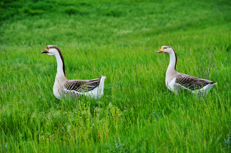 pair of domestic geese grazing on a green meadow, spring season photo