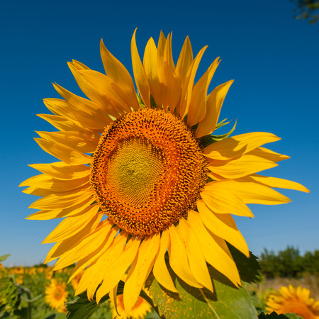 flower of sunflower against the blue sky photo