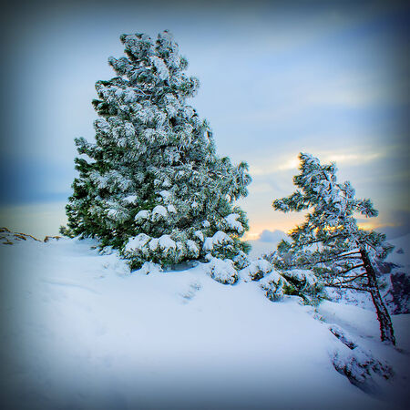 a blizzard: Pine trees in the snow in front of a blizzard in the mountains