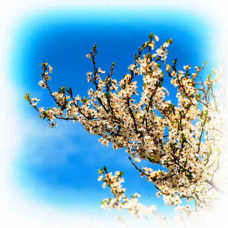 arbres fruitier: flowering branches of fruit trees, spring season Banque d'images