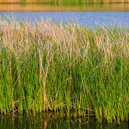 rushy: green reeds in the river, spring season Stock Photo